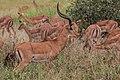 Impala - Tarangire National Park - Tanzania-4 (34980938191).jpg