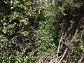 Impatiens leschenaultii (DC.) Wall. ex Wight & Arn. (6371056085).jpg