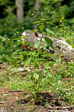 Impatiens parviflora - plant (aka).jpg