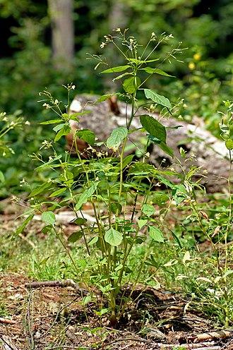 Impatiens parviflora - Image: Impatiens parviflora plant (aka)