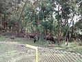 Indian Gaur at Kodaikanal.jpg