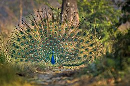 Indian peafowl Pavo cristatus.jpg
