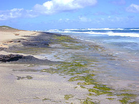 A growth of the green seaweed, Enteromorpha on rock substratum at the ocean shore. Some green seaweeds, such as Enteromorpha and Ulva, are quick to utilize inorganic nutrients from land runoff, and thus can be indicators of nutrient pollution.