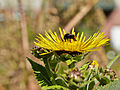 Inula helenium-IMG 8481.jpg