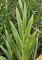 Iris domestica (leaf).JPG