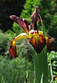 Iris spuria 'Cinnabar Red' (1999-352-B) Vertical.JPG