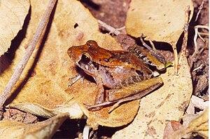 Brachycephalidae - Ischnocnema izecksohni