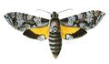 Isognathus menechus.png