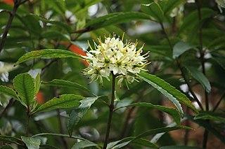 <i>Ixerba</i> species of plant