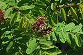 J20160428-0041—Amorpha californica—RPBG (26781040466).jpg