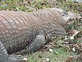 Jacaré do pantanal em letargia total.jpg