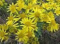 Jacobaea vulgaris subsp. vulgaris flowers.jpg
