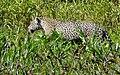 Jaguar (Panthera onca) female walking on the riverbank ... (48426609171).jpg