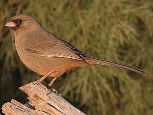 James William Abert - James Abert's Towhee