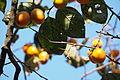 Japanese Persimmon (Diospyros kaki) (21812277523).jpg