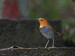 Japanese robin - Image: Japanese Robin 9625
