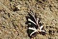 Jersey Tiger - panoramio.jpg