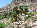 Joshua Tree National Park - 49 Palms Oasis - 03.jpg