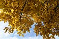Juglans regia Herbstlaub 01.jpg