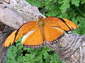 Julia butterfly (Dryas iulia) at Jacksonville Zoo (2).jpg