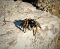 Jumping Spider. Philaeus chrysops probably (44704083454).jpg