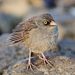 File:Junco vulcani CR.JPG