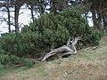 Juniper near Heddon Wood - geograph.org.uk - 1209215.jpg
