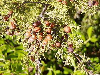Juniperus phoenicea - Image: Juniperus phoenicea berries