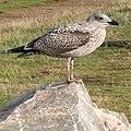 Juvenile Herring Gull (Larus argentatus) - geograph.org.uk - 226391.jpg