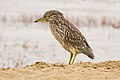 Juvenile Night Heron at Abbotts Lagoon.jpg
