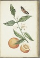 KITLV - 37A28 - Markée, Cornelis - Branch with blossoming orange blossom, oranges and butterfly - Brush drawing - Circa 1763.tif