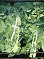 Kale greens in bunches.jpg