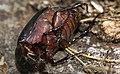Kershaw's burying beetle? Three horned dung beetle? (6845827962).jpg