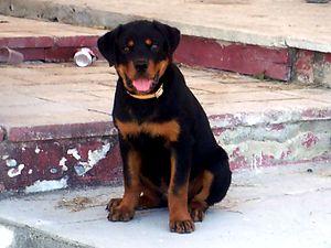 4-month old Rottweiler