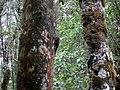 Kinabalu Park, Ranau, Sabah, Malaysia - panoramio (18).jpg