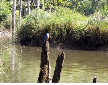 Kingfisher in Poovar.jpg