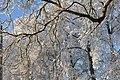 Koki pie Lanciņu skolas, Lancenieki, Džūkstes pagasts, Tukuma novads, Latvia - panoramio (3).jpg