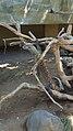 Komodo Dragon Bali Bird Park 1.jpg