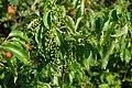 Korina 2016-07-21 Prunus serotina 1.jpg