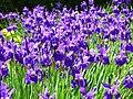 Kosaciec syberyjski. (Iris sibirica L.) 05.jpg