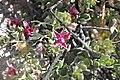 Krameria cistoidea Desierto Florido 2011 Cuesta La Totora 04.jpg