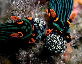 Nudibranch - Nudibranchs (Nembrotha kubaryana) eating Clavelina tunicate colonies