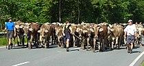 Kuhherde auf der Straße.jpg