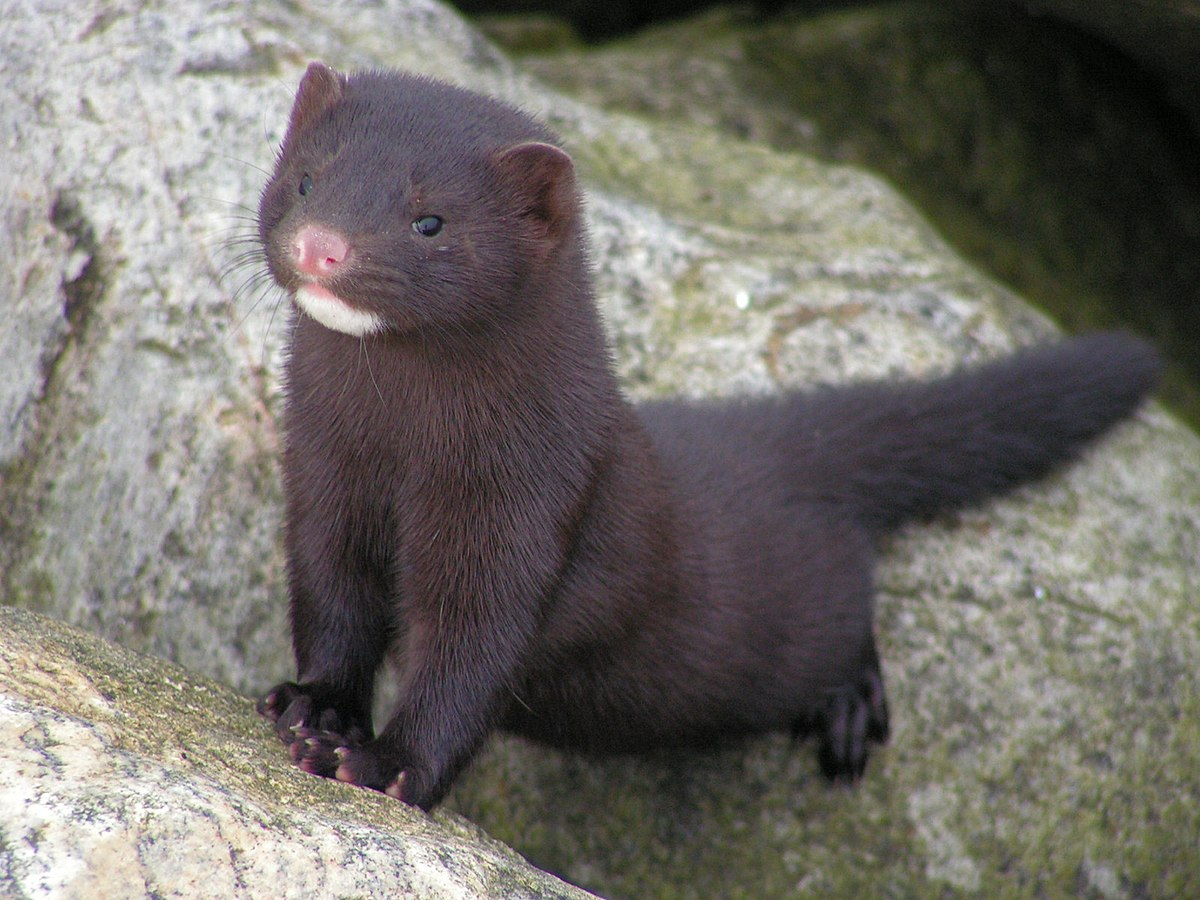 Mink Wiktionary