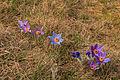 Kvetoucí koniklece v PP Kobylinec 28.jpg