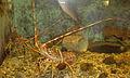 LANGUST Palinurus vulgaris.jpg