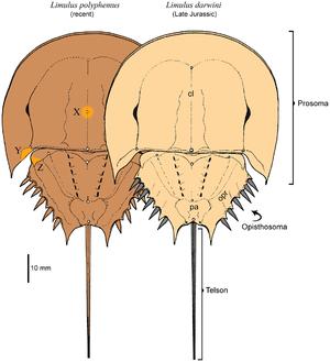 Limulus - Modern L. polyphemus compared to the very similar Jurassic L. darwini