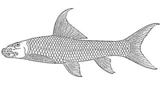 Cunene labeo species of fish
