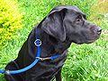Labrador mit angelegter Retrieverleine.jpg