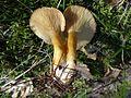 Lactarius porninsis BS21 (1).jpg